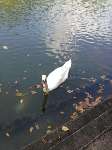 a swan in the lake!